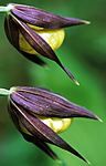 bb353 / Cypripedium calceolus / Marisko