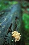 bb419 / Artomyces pyxidatus / Begerfingersopp