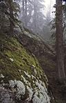 bb504 / Picea abies / Gran