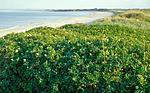 bb529 / Ammophila arenaria / Marehalm <br /> Rosa rugosa / Rynkerose