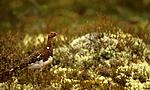 bb568 / Calluna vulgaris / Røsslyng <br /> Lagopus lagopus / Lirype