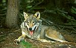 bb606 / Canis lupus / Ulv