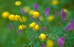 bb609 / Geranium sylvaticum / Skogstorkenebb <br /> Trollius europaeus / Ballblom