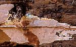 bb627 / Junghuhnia collabens / Sjokoladekjuke