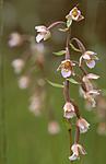 bb628 / Epipactis palustris / Myrflangre