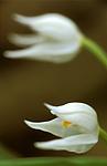 bb652 / Cephalanthera longifolia / Hvit skogfrue