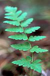 bb682 / Dryopteris cristata / Vasstelg