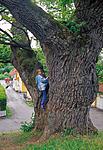 bb718 / Quercus robur / Sommereik