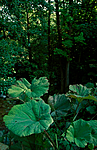 bb739 / Petasites hybridus / Legepestrot