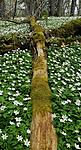 pano10_11_12 / Anemone nemorosa / Hvitveis