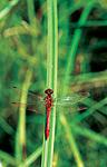 sr350 / Sympetrum sanguineum / Blodrød høstlibelle