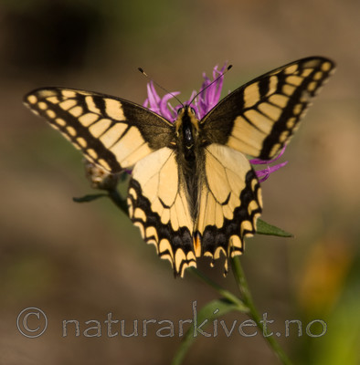 BB 08 0042 / Papilio machaon / Svalestjert