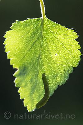 BB_20160304_0228 / Betula pubescens / Bjørk <br /> Betula pubescens tortuosa / Fjellbjørk <br /> Epirrita autumnata / Fjellbjørkemåler