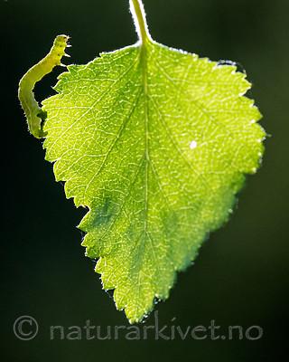BB_20160304_0275 / Betula pubescens / Bjørk <br /> Betula pubescens tortuosa / Fjellbjørk <br /> Epirrita autumnata / Fjellbjørkemåler