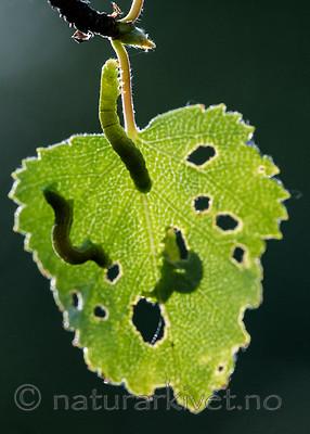 BB_20160304_0400 / Betula pubescens / Bjørk <br /> Betula pubescens tortuosa / Fjellbjørk <br /> Epirrita autumnata / Fjellbjørkemåler