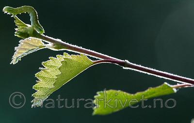 BB_20160304_0476 / Betula pubescens / Bjørk <br /> Betula pubescens tortuosa / Fjellbjørk <br /> Epirrita autumnata / Fjellbjørkemåler