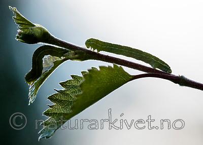 BB_20160304_0550 / Betula pubescens / Bjørk <br /> Betula pubescens tortuosa / Fjellbjørk <br /> Epirrita autumnata / Fjellbjørkemåler