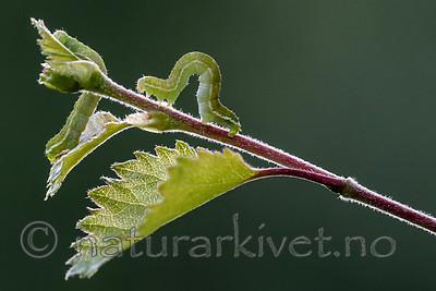 BB_20160304_0553 / Betula pubescens / Bjørk <br /> Betula pubescens tortuosa / Fjellbjørk <br /> Epirrita autumnata / Fjellbjørkemåler
