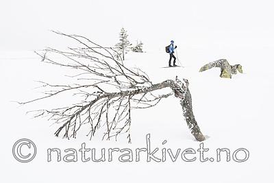 BB_20160325_0001 / Betula pubescens tortuosa / Fjellbjørk