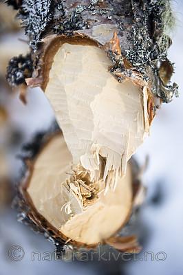 BB_20160326_0014 / Betula pubescens / Bjørk <br /> Castor fiber / Bever