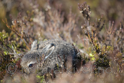 BB_20160517_0196 / Calluna vulgaris / Røsslyng <br /> Lepus timidus / Hare