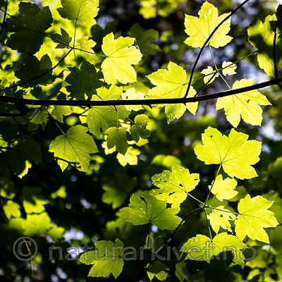 BB_20160525_0123 / Acer pseudoplatanus / Platanlønn