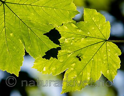 BB_20160525_0138 / Acer pseudoplatanus / Platanlønn
