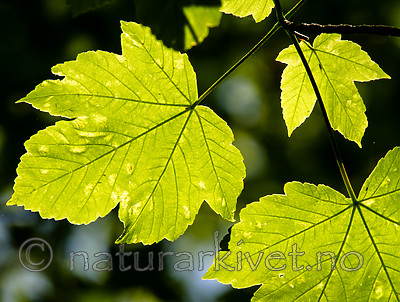 BB_20160525_0151 / Acer pseudoplatanus / Platanlønn