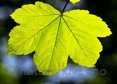 BB_20160525_0167 / Acer pseudoplatanus / Platanlønn