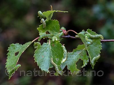 BB_20160701_0029 / Betula pubescens / Bjørk <br /> Betula pubescens tortuosa / Fjellbjørk <br /> Epirrita autumnata / Fjellbjørkemåler