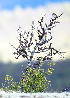 BB_20160702_0032 / Anthus pratensis / Heipiplerke <br /> Betula pubescens / Bjørk <br /> Betula pubescens tortuosa / Fjellbjørk
