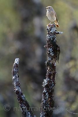 BB_20160703_0159 / Betula pubescens / Bjørk <br /> Phoenicurus phoenicurus / Rødstjert