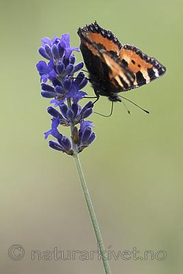 BB_20160709_0003 / Aglais urticae / Neslesommerfugl <br /> Lavandula angustifolia / Lavendel