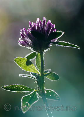 BB_20160709_0045 / Trifolium medium / Skogkløver