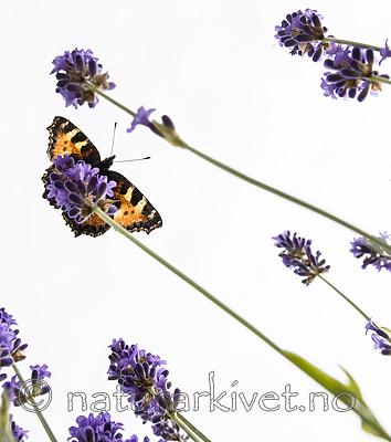 BB_20160710_0231 / Aglais urticae / Neslesommerfugl <br /> Lavandula angustifolia / Lavendel