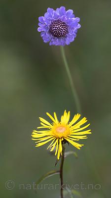 BB_20160712_0601 / Inula salicina / Krattalant <br /> Scabiosa columbaria / Bakkeknapp