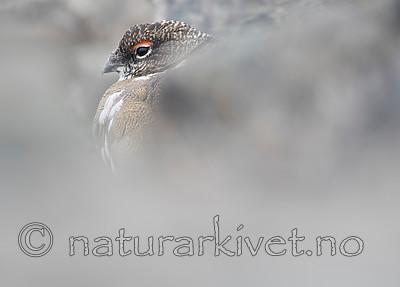 BB_20160715_0416 / Lagopus muta / Fjellrype <br /> Lagopus muta hyperborea / Svalbardrype