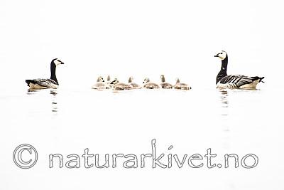 BB_20160716_0011 / Branta leucopsis / Hvitkinngås