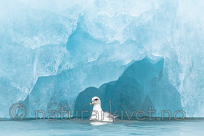 BB_20160718_0208 / Fulmarus glacialis / Havhest
