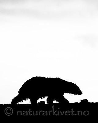 BB_20160719_0139-2 / Ursus maritimus / Isbjørn