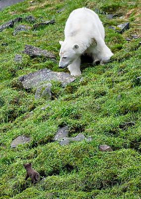 BB_20160721_0609 / Ursus maritimus / Isbjørn <br /> Vulpes lagopus / Fjellrev