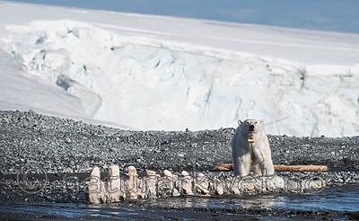 BB_20160723_0655 / Ursus maritimus / Isbjørn
