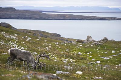 BB_20160728_0067 / Rangifer tarandus platyrhynchus / Svalbardrein