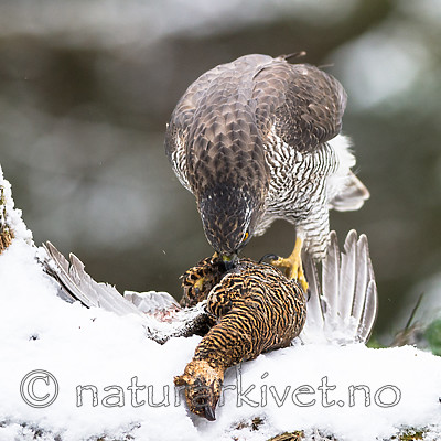 BB_20170305_0018 / Accipiter gentilis / Hønsehauk <br /> Tetrao tetrix / Orrfugl