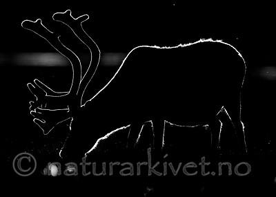 BB_20170801_0102 / Rangifer tarandus platyrhynchus / Svalbardrein