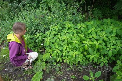 BB_20170812_0127 / Impatiens parviflora / Mongolspringfrø <br /> Urtica dioica / Stornesle <br /> Urtica dioica dioica / Brennesle