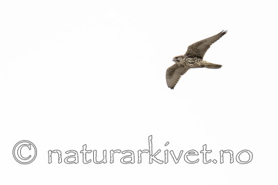 BB_20170924_1075 / Falco rusticolus / Jaktfalk