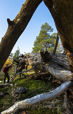 BB_20170925_0204 / Pinus sylvestris / Furu