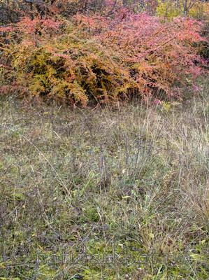 BB_20171030_0005 / Cotoneaster divaricatus / Sprikemispel