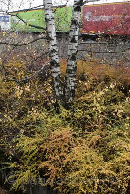 BB_20171030_0025 / Berberis thunbergii / Høstberberis <br /> Betula pendula / Hengebjørk